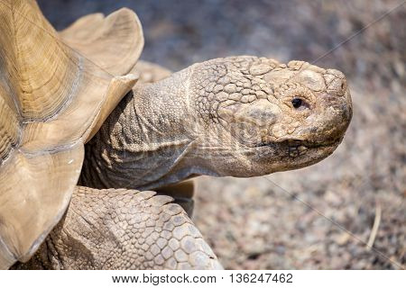 African spurred tortoise - Centrochelys sulcata, close-up side view