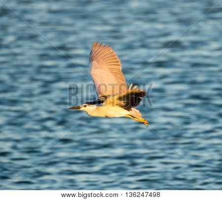 Black-Crowned Night-Heron, Nycticorax nycticorax, flying at sunset