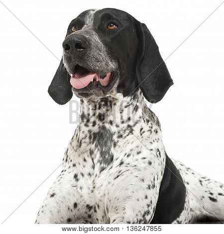 German Pointer lying on the white studio floor and looking to the left