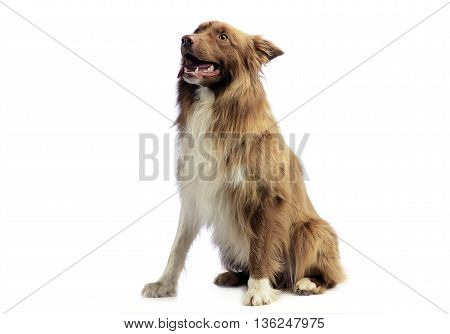 Border Collie sitting in the white background