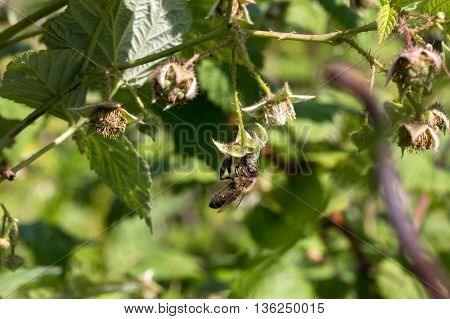bee flies around and pollinates raspberry bush