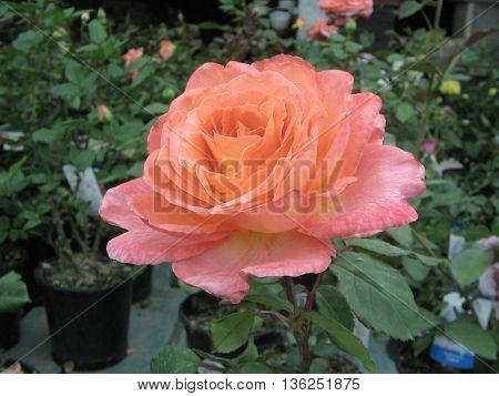 Plantas de rosales. Rosa en  plena floración.