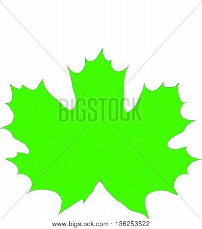 Maple, maple leaf, a leaf from a tree, vector