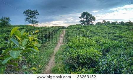 Plantation - Cloudy sky above coffee plantation landscape