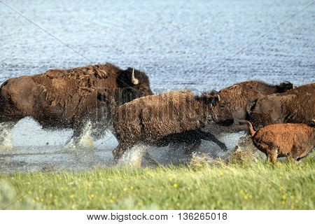 a herd of buffalo run along the stream