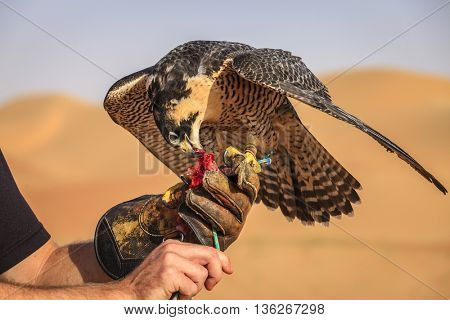 Peregrine Falcon receives a treat during traditional hunting training session