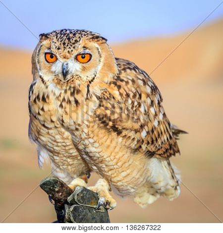 Portrait of Desert Eagle Owl on a trainer's glove