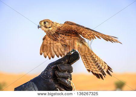 Female Kestrel on a trainer's glove