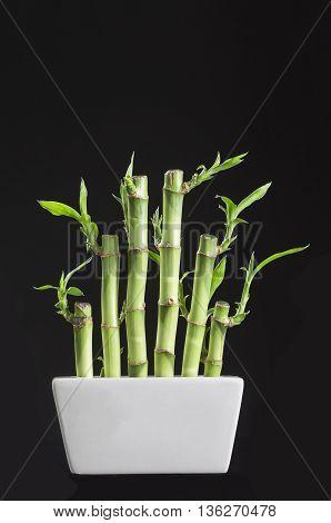 Lucky bamboo Dracaena sanderiana in a traditional porcelain pot