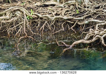The roots of the mangrove trees close up.