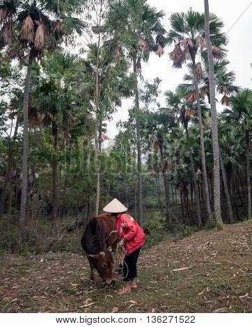 PHU THO, VIETNAM, February 19, 2016 the woman, countryside Phu Tho, midland, Vietnam, Cowherd