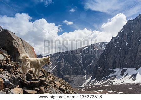 siberian husky dog in mountains in Altay. Russia