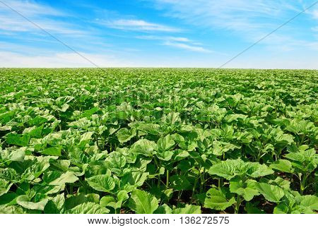 sunflower field and beautiful blue sky