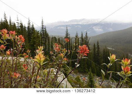 Indian Paintbrush - Banff National Park, Canada