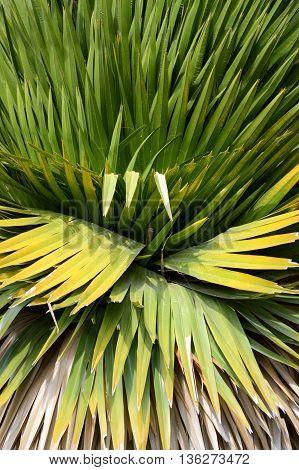 cuban petticoate palm or copernicia macroglossa leaves