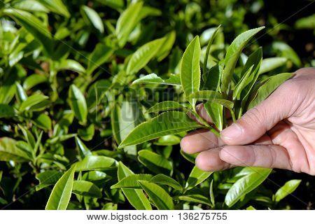 Man Hand Pick Tea Leaf