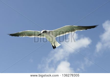 A beautiful seagull ias flying in a blue sky