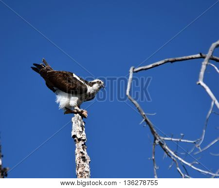 an osprey prepares to take flight with it's dinner