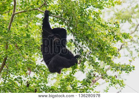 Nature siamang Gibbon hanging in the tree.