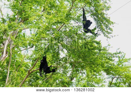 Two Siamang Gibbons hanging in the tree.