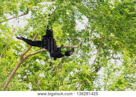 Close up siamang Gibbon hanging in the tree.