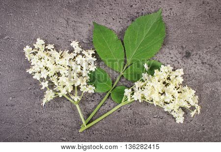 Bunch of elderberry flowers with leaves on structure of concrete alternative medicine
