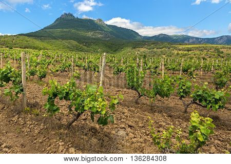 Beautiful green vineyards on the fields in the mountains of Crimea.
