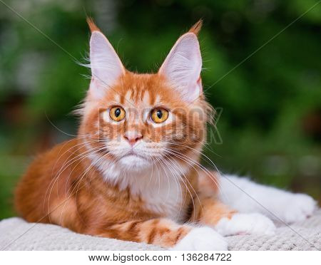 Portrait of domestic red Maine Coon kitten, 5 months old. Cat posing on green outdoor background.