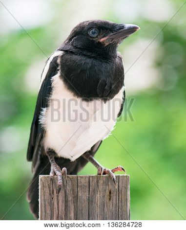 The close view of the nestling of magpie on wooden fence. Bird on wooden fence.