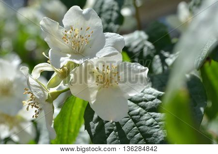 Flowering jasmine Bush Philadelphus Lemoinei hibridus floral background.Jasmine spring flowers in the garden.