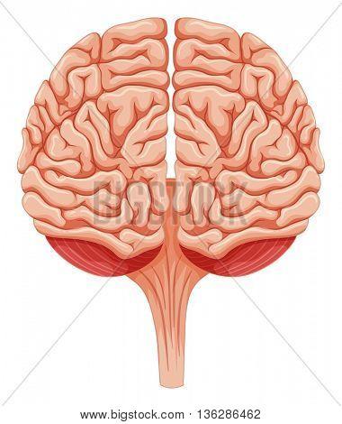 Close up human brain illustration