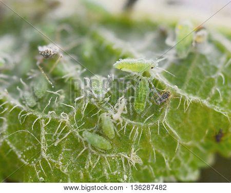 Green Aphids Macro