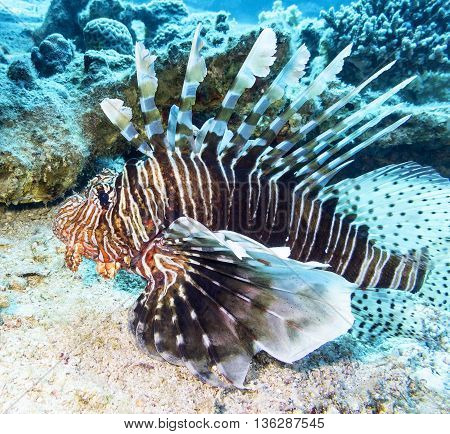 lionfish at the bottom of tropical sea underwater.