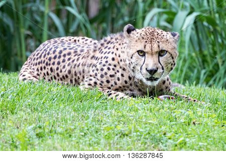 Cheeta Jaguar Eyes Portrait Looking At You
