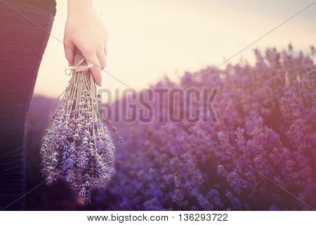 Gathering a bouquet of lavender. Girl hand holding a bouquet of fresh lavender in lavender field. Sun sun haze glare. Purple tinting