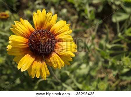 Bright sunflower with orange petal on background of the green herb