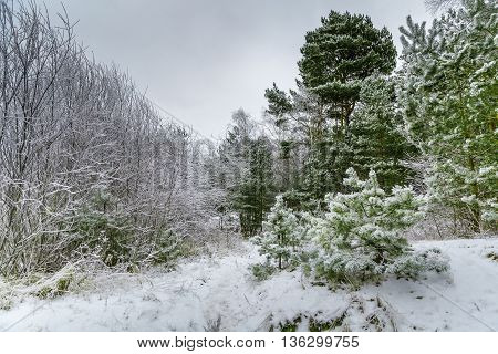 Winter covered with snow pine forest in Jurmala , Latvia