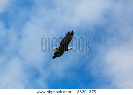 american bald eagle in flight against clear blue alaska sky