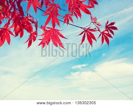 Red Autumn Leaves against blue sky.  Toned image