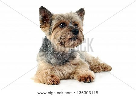 Yorkshire Terrier Lying In White Studio Background