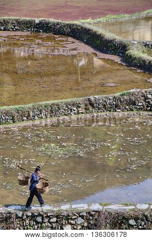 Zhaoxing Dong Village Guizhou Province China - April 8 2010: Chinese woman carries empty wicker basket on the beam passing the flooded rice fields in spring time.