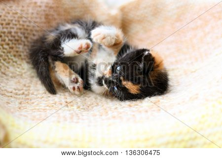 A tortoiseshell kitten playing on a blanket