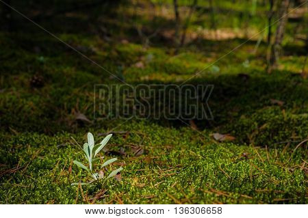 The stalk of the young grass on the moss on the shaded forest background