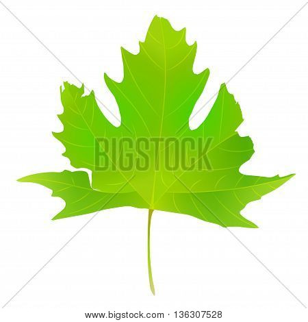 Green maple leaf vector illustration, illustration with beautiful autumn maple leaf isolated on white background