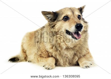 Old Mixed Breed Dog In  White Studio