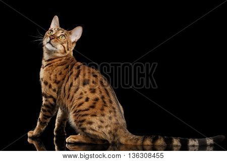 Cute Bengal female Cat with beautiful spots Sitting and Looking up on Isolated Black Background, Back view, Adorable breed