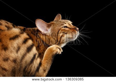 Closeup Funny Bengal Cat scratching his face, Raising paw with claw on Isolated Black Background, Back view, happy face of pleasure