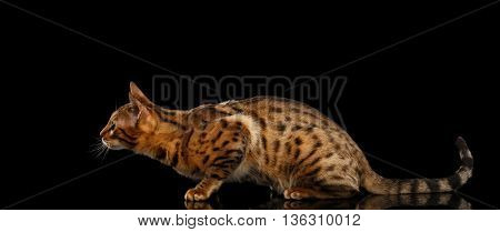 Hunts Gold Bengal female Cat crouching with beautiful Spots, waiting on Isolated Black Background, Side view