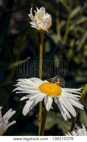 The bug creeps on camomile petals. Dark background. In the foreground - a camomile flower. On the average plan and a background - camomile stalks. Outdoors. Vertical format. Color. Photo.