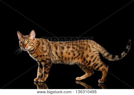Adorable Gold Bengal female Cat Standing with beautiful Spots, Walking on Isolated Black Background, Side view